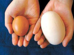 Telur Ayam Terbesar